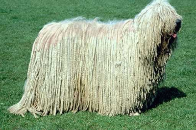 The Komondor Dog is meant to look like this. Image provided by http://divaboo.info/